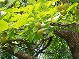 Ginkgobaum Ginkgo biloba Pflanze 90-100cm Baum des Jahrtausends Fächerblattbaum