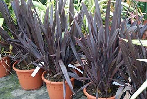 Portal Cool Violet Nouvelle-Zã©Lande Lin - Phormium Tenax PURPUREUM - 25 Tropicales graines Fraã®Ches