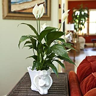 Sympathy Gift Peace Lily in Angel Container - Live Plant Gift - Green Gift - Sympathy Gift - Sympathy Plant - Bereavement Gift - Bereavement Plant - Ships fast via 2-Day Air