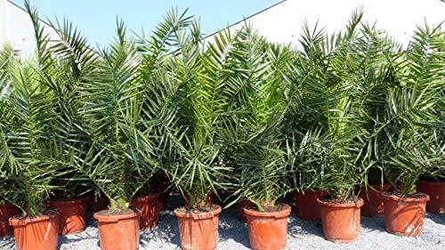 Palme XXL Phoenix canariensis, kanarische Dattelpalme, winterhart