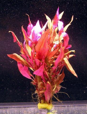 WFW wasserflora Rosablättriges Papageienblatt/Alternanthera reineckii PINK - roseafolia