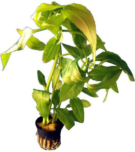 1 Topf Gymnocornis Spilanthoides, Falscher Wasserfreund, Wasserpflanzen