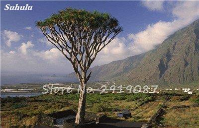 Livraison gratuite 10 Pcs rares Dracaena arbre alpiste Tree Island Sang (Dracaena draco) voyantes, Jardin des plantes exotiques 17 Diy