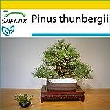 SAFLAX - Set de cultivo - Pino negro japonés - 30 semillas - Con mini-invernadero, sustrato de cultivo y 2 maceteros - Pinus thunbergii