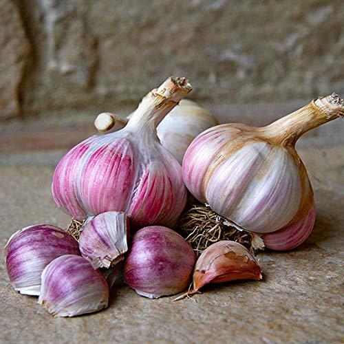 Qulista Samenhaus - Rarität 10pcs Frankreich Knoblauch Edenrose, rosa leicht süßlich/Mild-würzig Gemüsesamen winterhart mehrjärhig