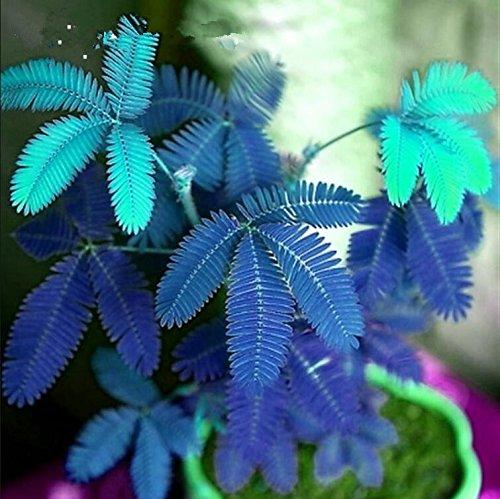 Les ventes chaudes! 100pcs Graines Mimosa Pudica Linn, feuillage Mimosa Pudica Sensible Bonsai plante jardin Livraison gratuite 7