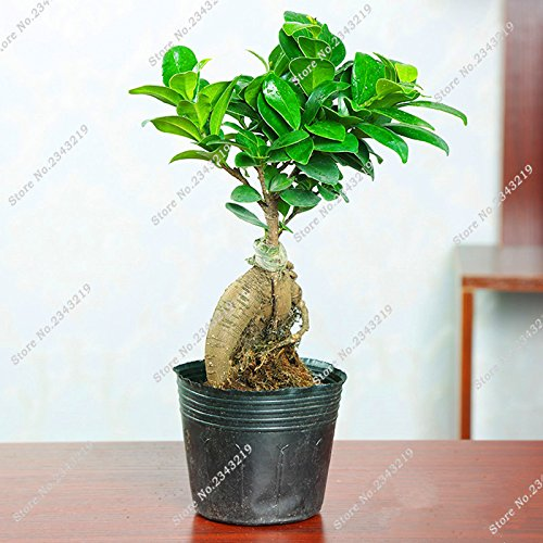 En soldes ! Salon Evergreen Banyan Tree Seed Chambre Ficus Ginseng Mini Ficus Microcarpa Jardin Décoration Bonsia plantez des graines 12 Pcs
