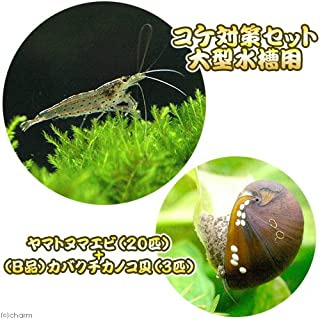 charm(チャーム) (エビ・貝)コケ対策セット 大型水槽用 ヤマトヌマエビ(20匹) +(B品)カバクチカノコ貝(3匹) 【生体】