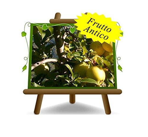 Apfelbaum Äpfel Früchte - Golden Delicious Tal von Non - Obstpflanzen antik auf Blumentopf einer Vase von 26 - Baum max 200 cm – 4 Jahre Anbau