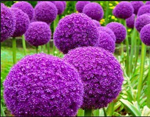 PLAT FIRM GERMINATIONSAMEN: 200 Riesen Allium GLOBEMASTER Allium Giganteum Zwiebel Bio Samen