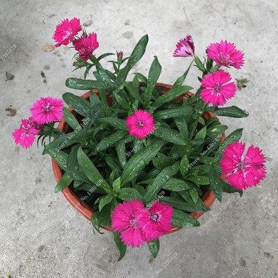 Carnation rare Graine Dianthus caryophyllus Fleur jardin Salon Four Seasons Plantation maman facile cadeau cultiver 200 Pcs 10