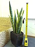 Easy Plants 1 MOTHER IN LAW'S TONGUE GOOD LUCK SNAKE PLANT IN GLOSS BLACK MILANO SQUARE POT,45-55cm Tall