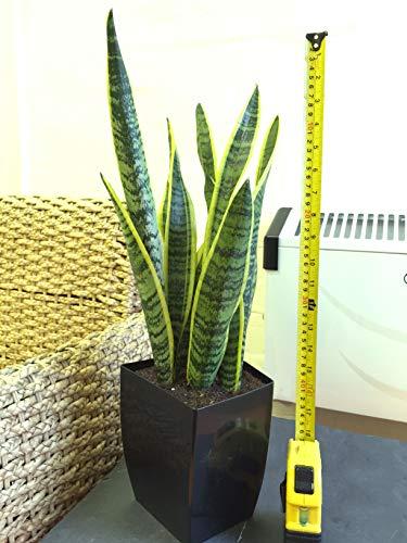 1 Mère en Law Langue de serpent Bonne Chance pour plantes en noir laqué Milano Pot de fleurs carré, 45?55 cm de haut