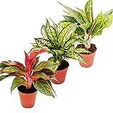 Exotenherz - Buntblättriger Kolbenfaden - Set aus 3 versch. Deluxe Pflanzen - Aglaonema 12cm