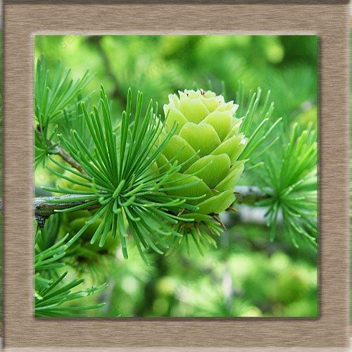 Larch Seeds SeedsAndPlants Graines Indoor Air Purification Pine Bonsai Arbre 1 Professionnel Paquet / 120 Pcs