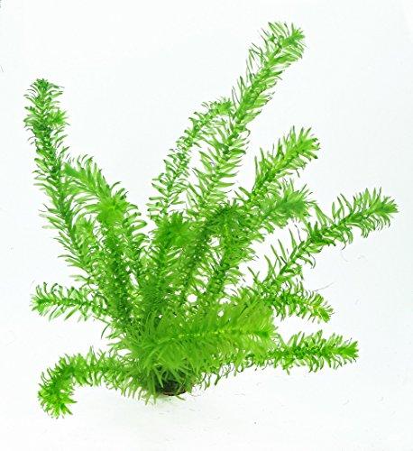 WFW wasserflora 1 Topf Wasserpest/Egeria Densa, winterharte Sauerstoffpflanzen, Klärpflanzen