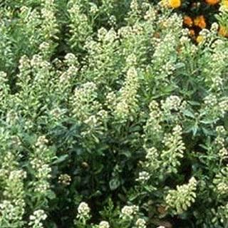 Reseda Odorata Mignonette Ameliorata 100 Seeds #PLT