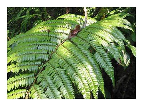 Cyathea moluccana - fougère - 50 graines
