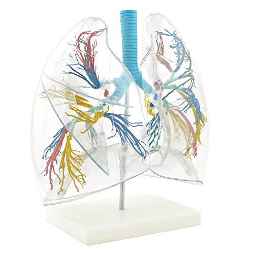 HeineScientific Modello di polmoni, trasparente