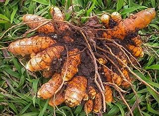 RootBloom®™ Fresh Organic Raw Turmeric Rhizomes Natural Kacchi Haldi Set of 12 (Corrugated box Packaging)(Natural Immunity...
