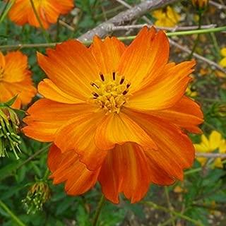 Non GMO Bulk Sulphur Cosmos Seeds - Orange Cosmos sulphureus (1/4 Lb) 28,000 Seeds