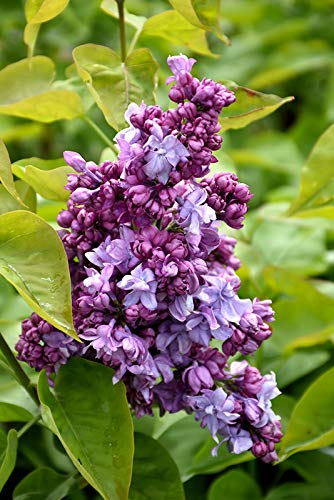 25 Blue Purple Lilac Seeds Tree Fragrant Hardy Flower Perennial Shrub Garden
