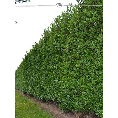 Kirschlorbeer Lorbeerkirsche Caucasica 180-200cm. Angebot: 5-100 immergrüne Heckenpflanzen. Prunus laurocerasus Caucasica; schmalwachsend & pflegeleicht. Blickdichte Kirschlorbeer Hecke   Inkl Versand