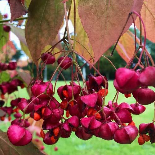 Plant World Seeds - Euonymus Planipes Seeds