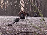 Archery Turkey From a 2 Sided Blind