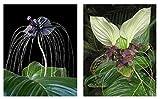 Seedeo Anzuchtset Fledermausblumen Geschenkedition