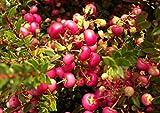 Pernettya mucronata - Torfmyrte - Geschlecht weibliche Pflanze