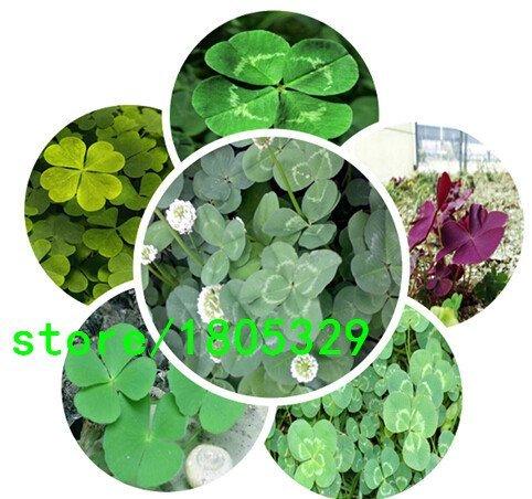 Nouvelle arrivée jardin 100Seeds usine Trifolium Repens Blanc Néerlandais Clover Graines Four Leaf Clover Seeds
