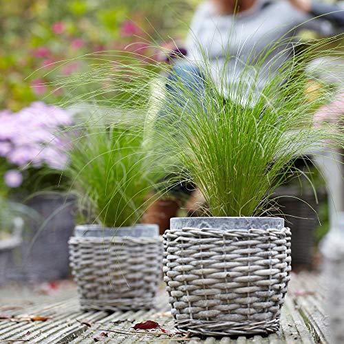 Stipa tenuifolia'Ponytail' | Federgras...