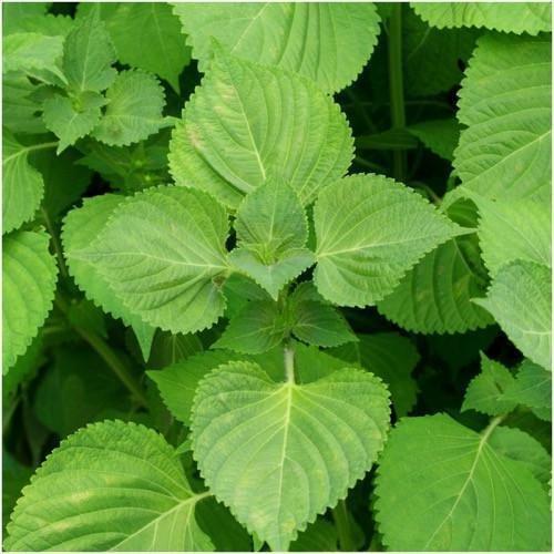 Paket von 300 Samen, Green Shiso Seeds (Perilla)