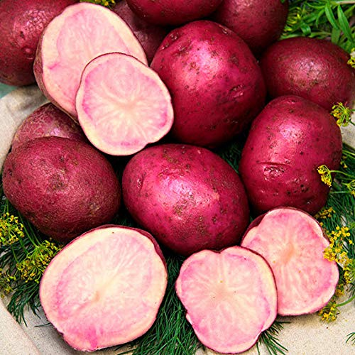 Ultrey Samenshop - 50 Stück Süßkartoffel 'Evangeline' Samen, Bio Pflanzkartoffel Spezialität Kartoffel Gemüse Samen winterhart für Garten Balkon/Terrasse