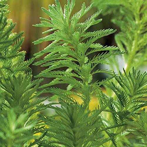 """Myriophyllum brasiliense \""""Red Stem\""""   Brasilianisches Tausendblatt   Sauerstoffpflanze   Teich reinigend   Höhe 20cm   Topf-Ø 18cm"""