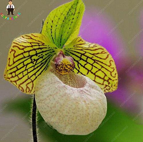100pcs 20 types d'orchidées Graines vivaces Fleurs Plantes ornementales en pot Bansai Semences pour balcon et cour plante Diy jardin rouge