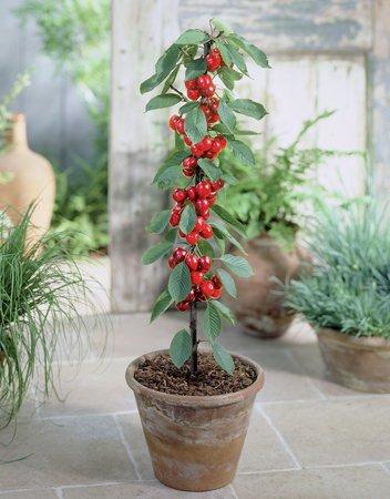 Blumen-Senf Säulenobst Säulen-Kirsche Prunus avium 'Helena'