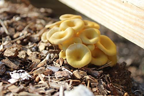 Bio Limonenpilz Substrat Pilzbrut - Edelpilze selber züchten auf Holz oder Stroh