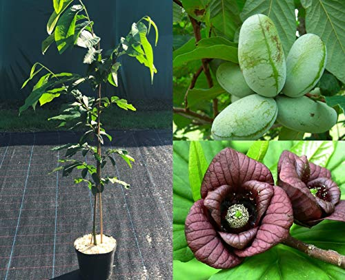 Asimina triloba Prima. Indianerbanane, Papau, Pawpaw, Baum ca.100/120 cm. selbstfruchtend