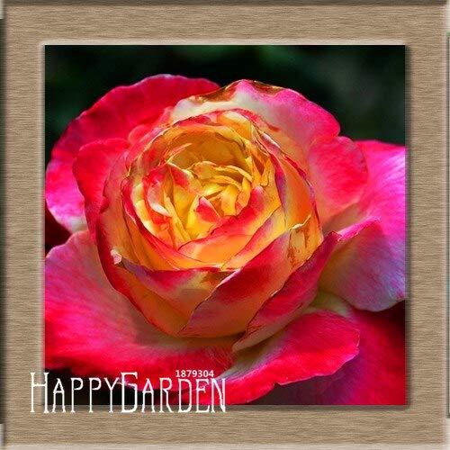 Kalash New 100pcs Rose Blumensamen für Garten Rosa Gelb