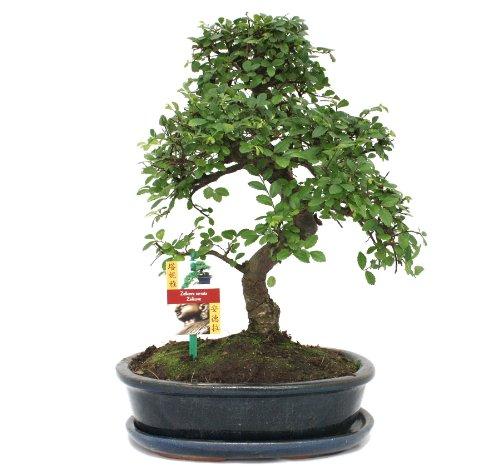 exotenherz - Bonsai Chinesische Ulme - Ulmus parviflora - ca. 10 Jahre