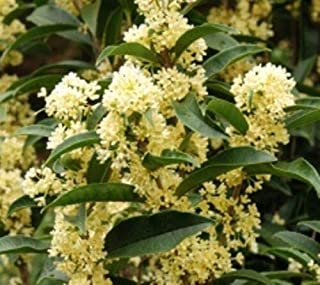 Fudingzhu Fragrant Tea Olive (osmanthus) Live Plant Quart Pot