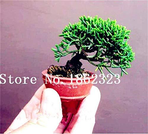 Shopmeeko Graines: 60 Pcs Rare coloré Juniper Bonsai Starter Arbre japonais -Juniperus PROCUMBENS & # 39; Nana & # 39; Plante en pot pour jardin Plante en pot: 5