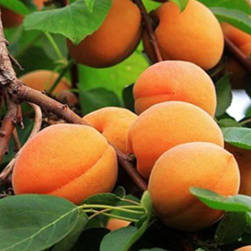 CFPacrobaticS 10 Stück Süße Aprikosen Samen Baum Seltene Früchte Bonsai Leicht Wachsen, Home Farm Hof Pflanzen, Dekoration Garten Geschenke