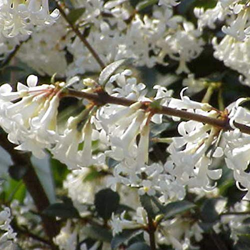 Osmanthus Delavayi - Duftblüte 30-40 cm Pflanzcontainer