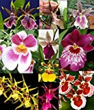 4 Live Orchid Plants to Choose (Oncidiums)