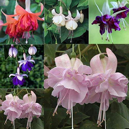 Free Venus 30/100 stücke Farbe Mix Hängen Fuchsia Blumensamen Bonsai Pflanzen Heim Blumengarten Blumensamen