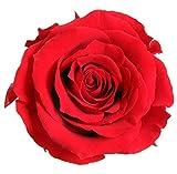 Verdissimo Cabeza de Rosa Preservada 6 Unidades Tamaño Extra, Diametro 6-6,5 cm Altura 5-5,5 cm, Rojo