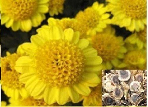 40 x jaune foncé Bellis Perennis Linn Graines Rare Fleurs rares Graines de jardin Graines de fleur # 54